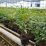3주씩 식재된 남천나무 40포트 한셑|