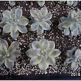 살구미인금(랜덤발송) Graptoveria Titubans