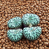 코노피튬 일반종 옵코델룸 씨앗 (CS51)|Conophytum