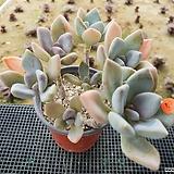 석연화(합식)|Pachyveria Pachyphytodies