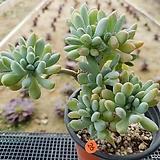 익스펙트리아타|Cremneria Expatriata f.cristata