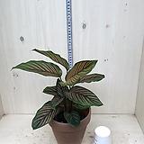 실내식물 칼라데아 오나타|