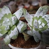 파키피덤야생군생한몸(뿌리무)|Dudleya pachyphytum