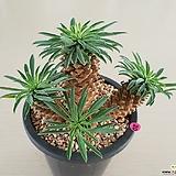 괴마옥 군생|Euphorbia hypogaea