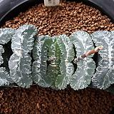 하워르티아 일반종 옥선 씨앗(옥선 일굴천 씨앗) 5립 (HS02)|Haworthia truncata