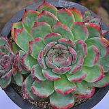 원종콜로라타(Q098)|Echeveria colorata