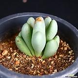 축전 6|conophytum bilobum