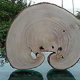 통나무슬라이스(박쥐란,틸란드시아diy용도)0616spxp9|Tillandsia