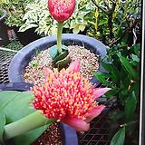 핑크알비프로스.핑크헤만투스.핑크털군자란.핑크밍크분꽃 .꽃대있어요.|