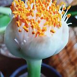 알비프로스.헤만투스.털군자란.밍크붓꽃(튤립형흰색꽃).꽃대있어요.|