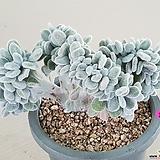백금사황 철화|Echeveria setosa Hybrid