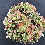 빅레드철화|Echeveria Big Red