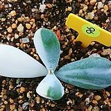 방울복랑금(뿌리무)09178|Cotyledon orbiculata cv variegated
