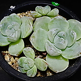 아이시그린78|Echeveria Ice green