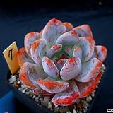 오렌지먼로7|Echeveria Monroe(Orange)