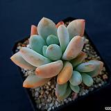후레뉴26|Pachyphtum cv Frevel
