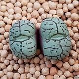 위트버젠스 (일본수입.분채배송)|Conophytum Wittebergense