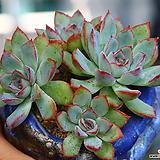 핑크엣지군생(자연,목대,묵은둥이)|Echeveria pink edge