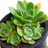 라즈아가백금(합식)|Echeveria agavoides sp