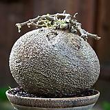 애듈리스(나타렌시스) 수입 씨앗 3립|Dudleya edulis