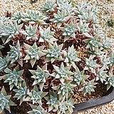 화이트그리니 62두09187|Dudleya White gnoma(White greenii / White sprite)