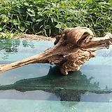 풍란,틸란드시아용 관솔혹(일명 복력목,부엉이방구)0823spxp2|Tillandsia