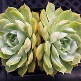 온슬로우 3800|Echeveria cv  Onslow