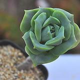 러블리로즈(Q140)|Lovely Rose