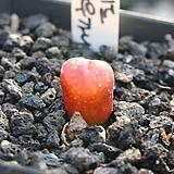 레드마우가니 9893|Conophytum maughanii