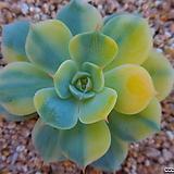 블루에뜨금(뿌리무)2303|Echeveria peacockckii bluete