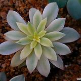 그린에메랄드금2038|Echeveria Green Emerald