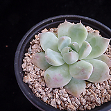 알바뷰티138|Echeveria Alba Beauty