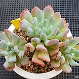 런발디|Graptosedum Francesco Baldi