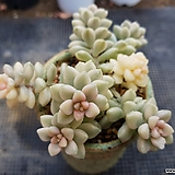 베라하긴스금|Graptopetalum Mirinae