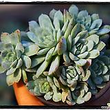 라즈베리아이스군생(자연)|Echeveria Rasberry Ice