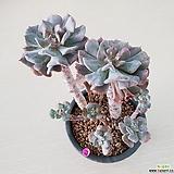큐빅프로스티 목대 자연군생|Echeveria pulvinata Frosty