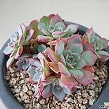 아우렌시스 목대 자연군생|Echeveria Laulensis