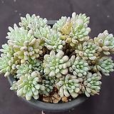 블루빈스|Graptopetalum pachyphyllum Bluebean
