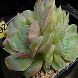 온슬로우금 492|Echeveria cv  Onslow
