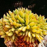 사치철화 922-17 Echeveria agavoides f.cristata Echeveria