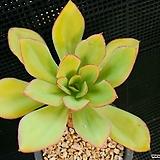 파리다프린스 922-20 Echeveria cv. Pallida Prince