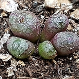 미누스칼룸(소형종)|
