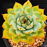 콜로라타 923-24 Echeveria colorata