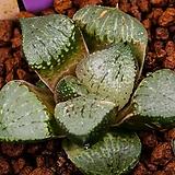 픽타(환) 실생(picta(丸) 實生)-08-20-4226|Haworthia picta