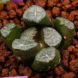 자만상 특선-SS1(紫万象 特選-SS1)08-20-4638|Haworthia maughanii