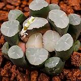 만상 실생(万象 實生08-20-217|Haworthia maughanii