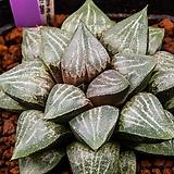 흑픽타 x 스프링복스 실생(黑picta x springboks 實生)-08-20-4758|Haworthia picta