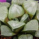 크리스탈무치카 x 농백운 실생(Crystal Mutica x 濃白雲 實生)-08-22-No.1460|Echeveria elegans potosina Crystal