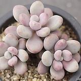아메치스 자연군생 2-0701|Graptopetalum amethystinum