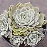 온슬로우 군생 2-0800|Echeveria cv  Onslow